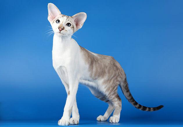Породы кошек - Сейшельская