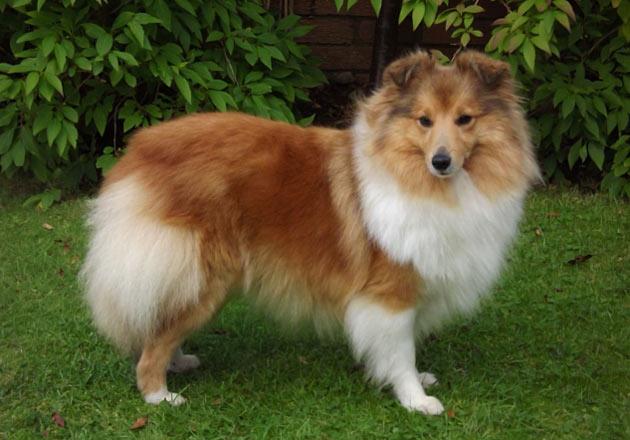 Породы собак - Шетландская овчарка (Шелти)