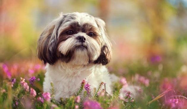Породы собак - Ши-тцу