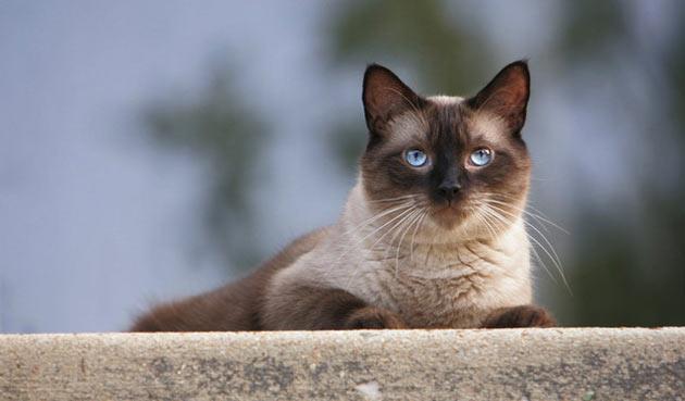 Породы кошек - Сиамская