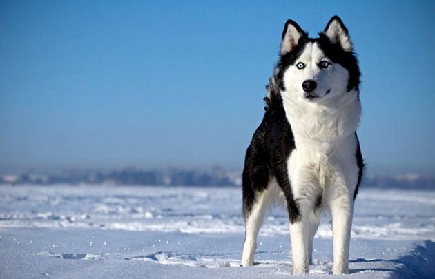 Породы собак - Сибирский хаски