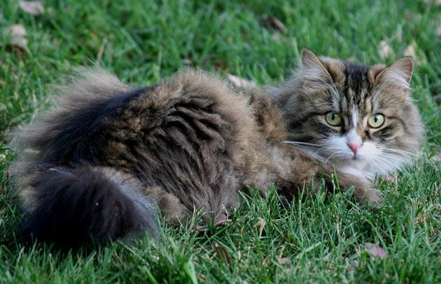 Породы кошек - Сибирская