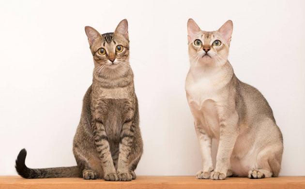 Породы кошек - Сингапурская