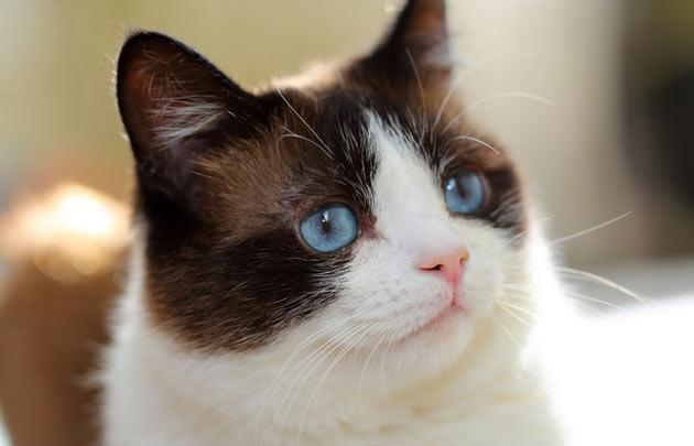 Породы кошек - Сноу-Шу