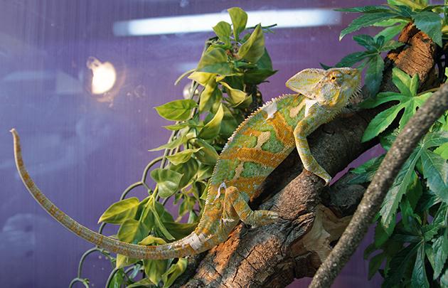 Наиболее распространенной болезнью хамелеонов является заражение паразитами