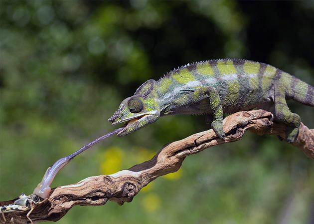 Рацион хамелеонов представлен не ядовитыми, летающими и ползающими насекомыми