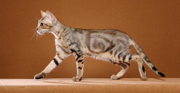 Породы кошек - Сококе (соукок)