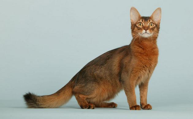Породы кошек - Сомали