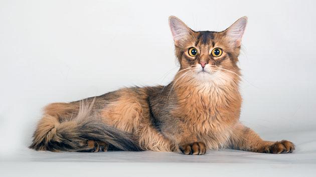 Сомалийские кошки от рождения обладают вполне крепким иммунитетом