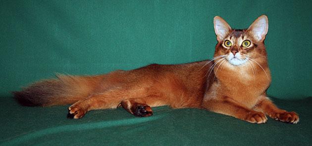 Сомалийские кошки обладают немалым количеством неоспоримых достоинств, но требуют повышенного внимания