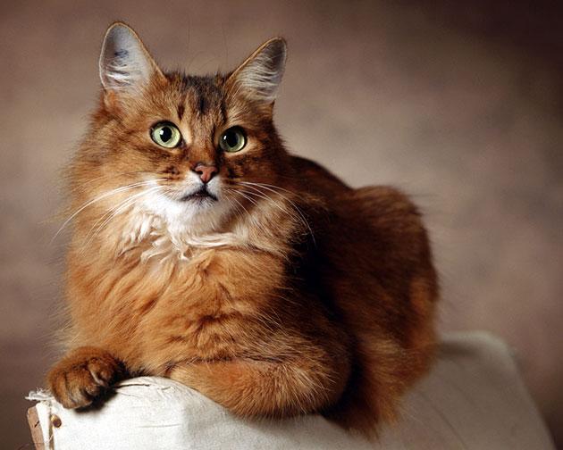 Ветеринарные врачи рекомендуют кормить сомалийских кошек дважды в сутки
