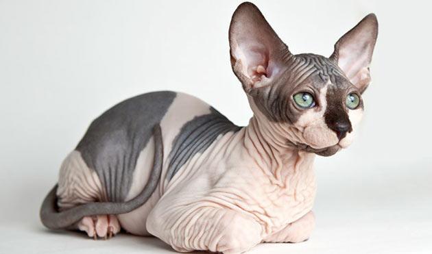 Породы кошек - Сфинкс (канадский)