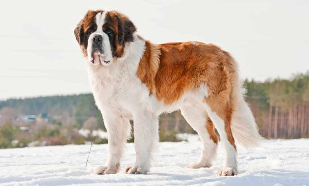 Породы собак - Сенбернар