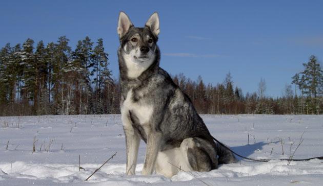 Породы собак - Ямтхунд (шведская лайка)