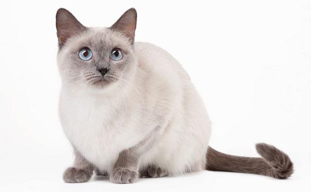 Породы кошек - Тайская