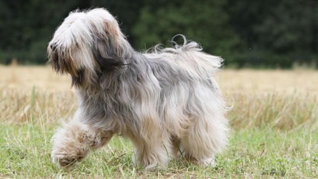 Породы собак - Тибетский терьер