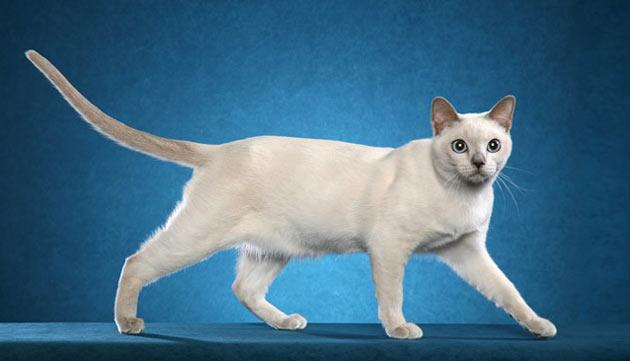 Породы кошек - Тонкинская