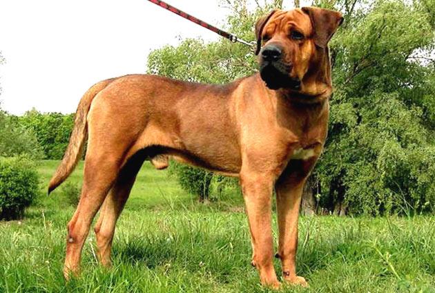Породы собак - Тоса-ину