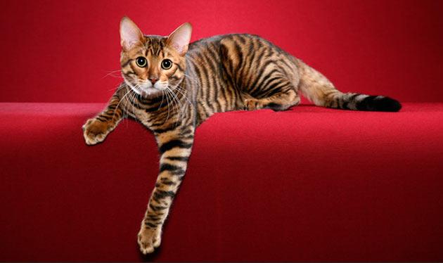 Породы кошек - Тойгер
