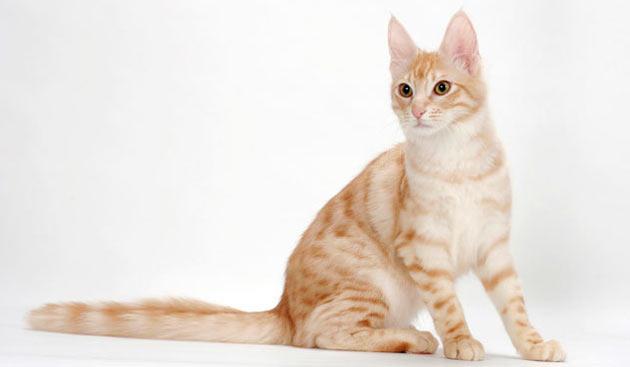 Породы кошек - Турецкая ангора