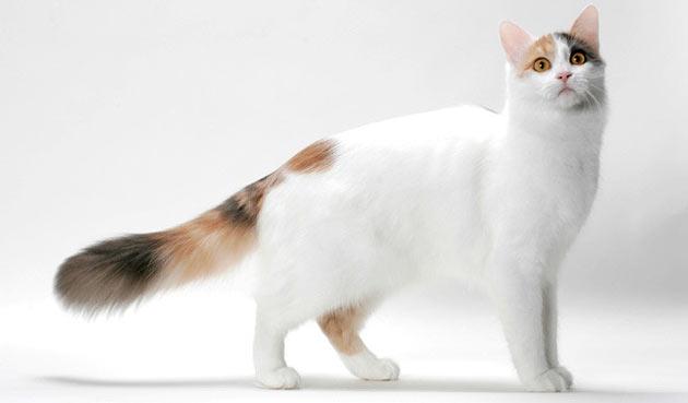 Породы кошек - Турецкий ван