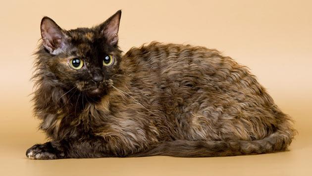 Породы кошек - Уральский рекс