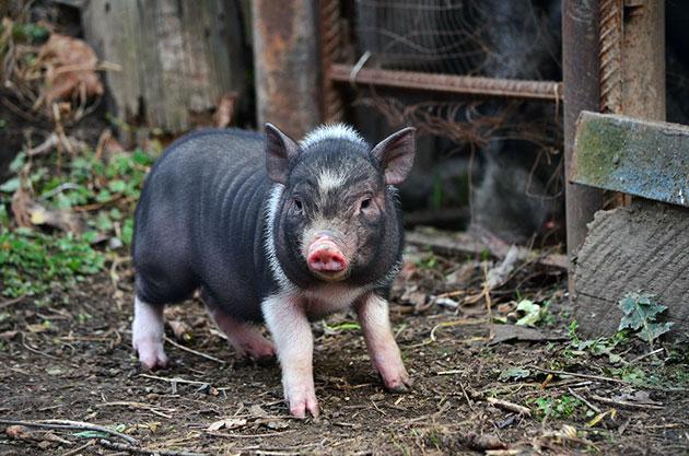 При содержании вьетнамских свиней не нужны огромные затраты на корма