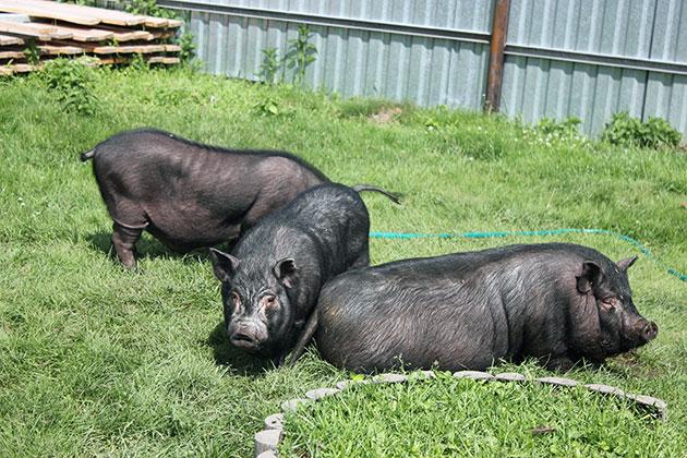 Больные азиатские травоядные свиньи малоподвижны, имеют плохой аппетит и проплешины на шерсти