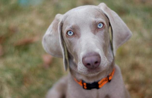 Породы собак - Веймаранер