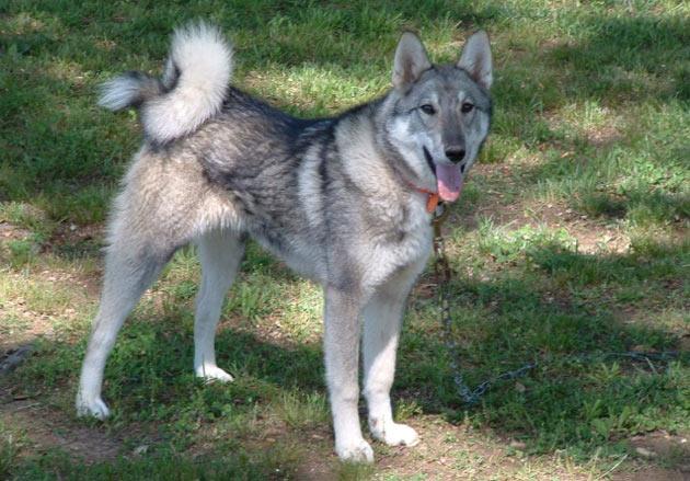 Породы собак - Западносибирская лайка