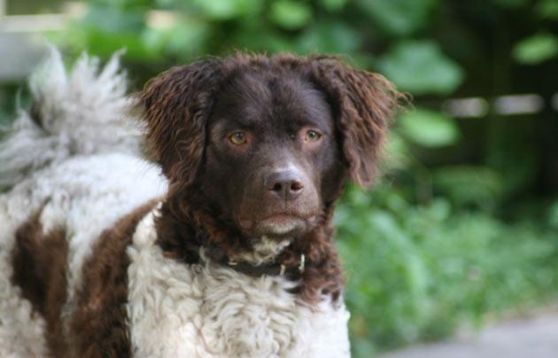 Породы собак - Веттерхун