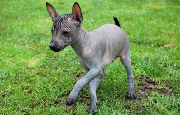 Породы собак - Ксолоитцкуинтли