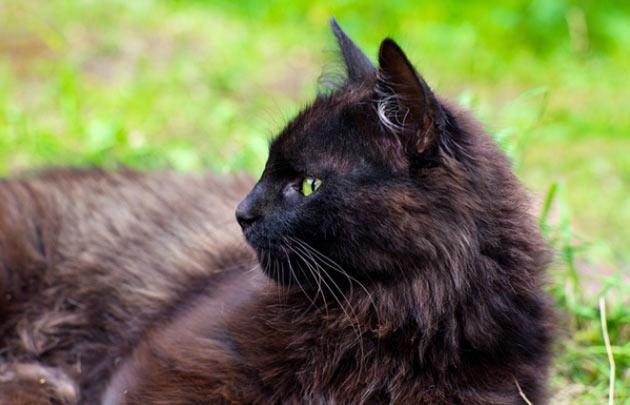 Породы кошек - Йоркская шоколадная кошка
