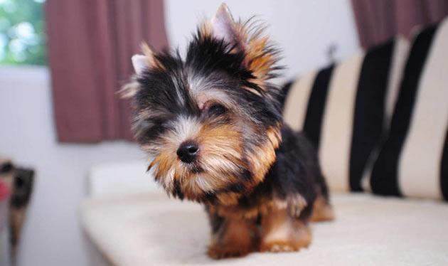 Породы собак - Йоркширский терьер