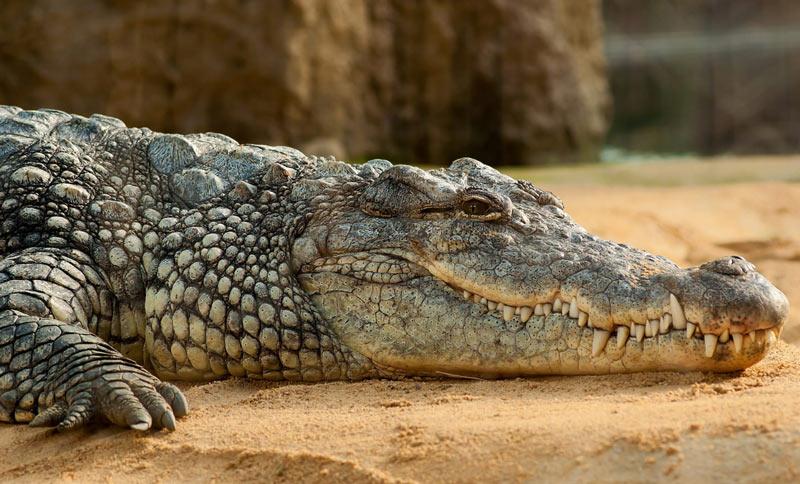 Благодаря способности гребнистого крокодила преодолевать большие расстояния по морю, эта рептилия имеет самый большой ареал обитания среди всех крокодилов