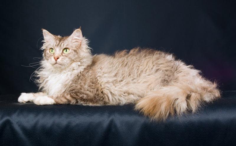 Лаперм — длинношерстная порода рексовых кошек
