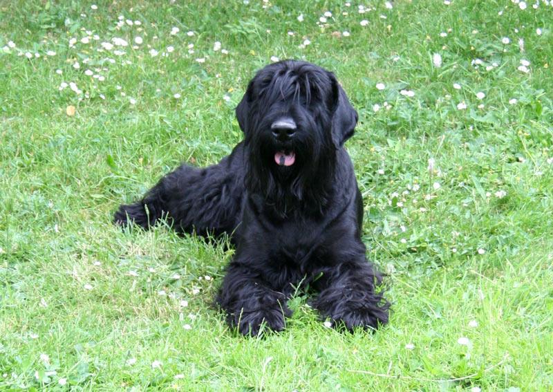 Породы собак - Миттельшнауцер