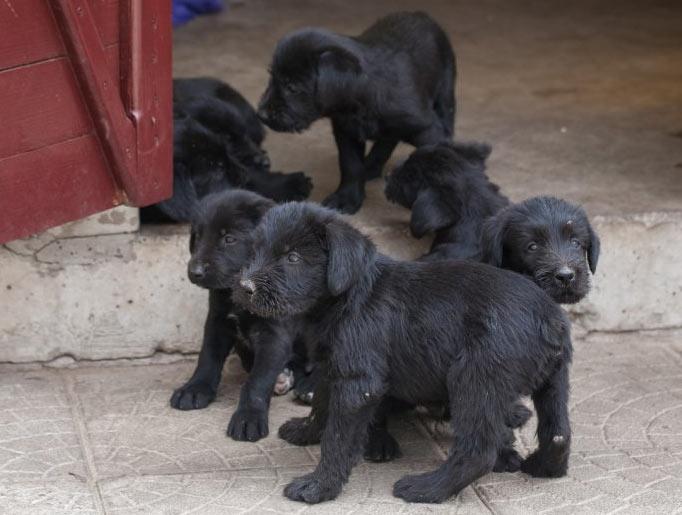 Миттельшнауцеры – активные собаки и вялость должна сильно насторожить