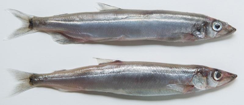 Мойва — некрупная рыба, принадлежащая к семейству корюшковых