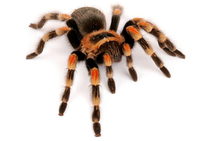Тело пауков состоит из двух основных частей — головогруди и брюшка
