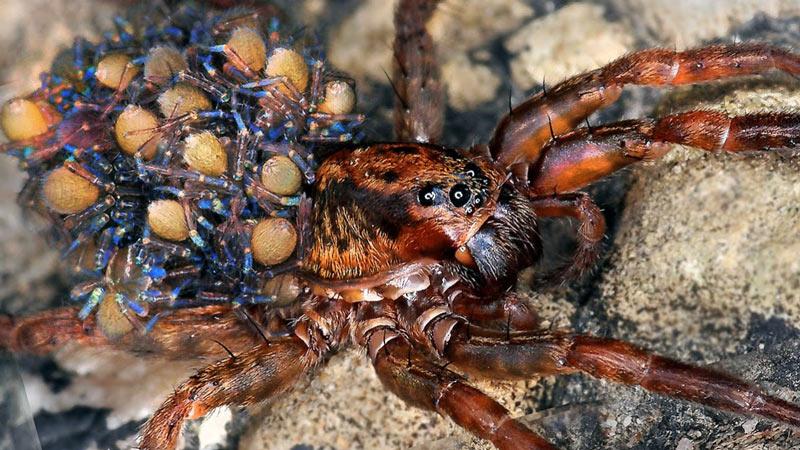 Размножаются пауки половым путём, при этом, хоть оплодотворение и внутреннее, но непрямое