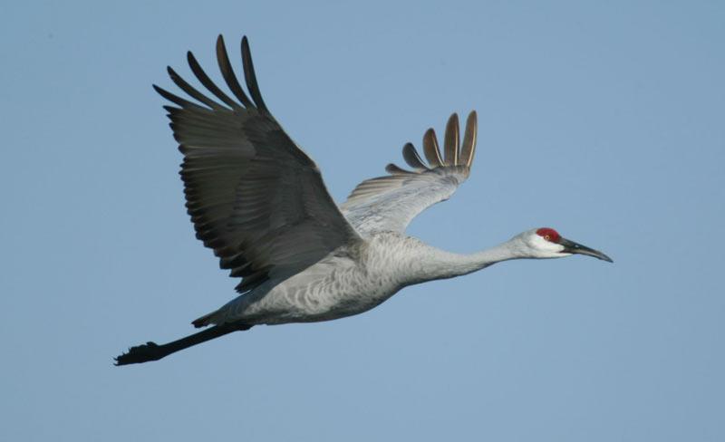 Журавли – величественные птицы, которые очаровывали людей на протяжении тысячелетий