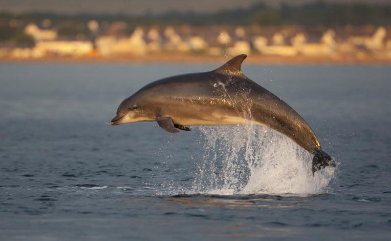 Афалины являются самым многочисленным и распространённым видом среди всех дельфинов