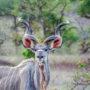 Большой куду или антилопа куду (лат. Tragelaphus strepsiceros)