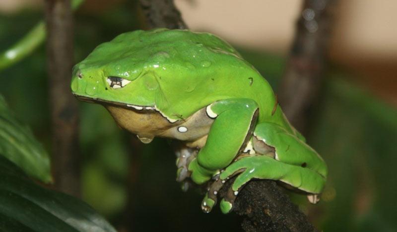Амазонские племена считают двухцветную филломедузу поистине священным животным