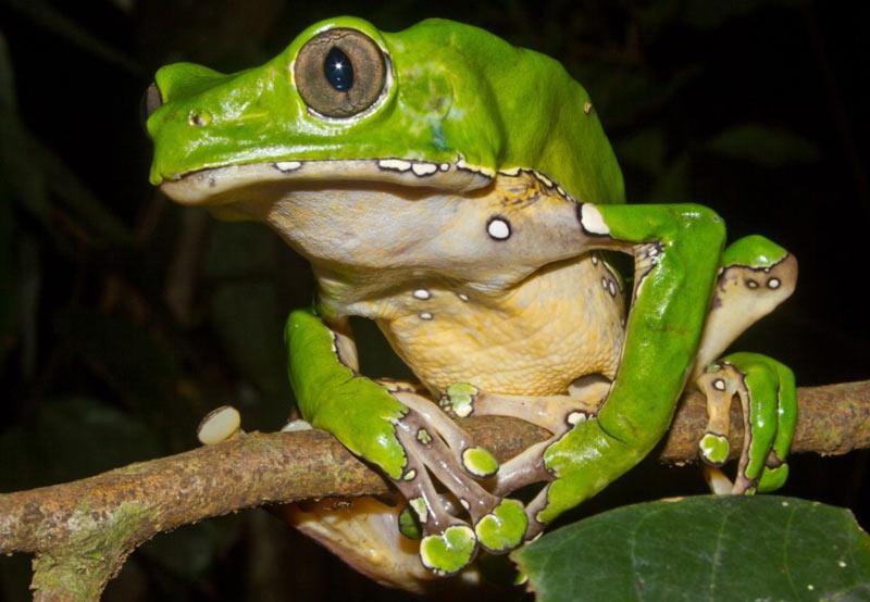 Сезон размножения приходится на сезон дождей, между ноябрем и маем