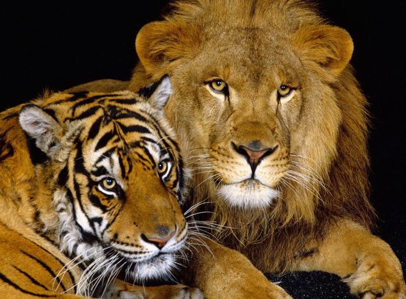 Лигр — гибрид самца льва и самки тигра