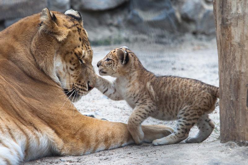 В настоящее время поголовье лигров во всём мире немногим превышает 20 особей.