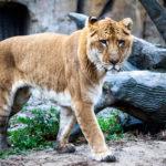 Лигр — гибрид льва и тигра