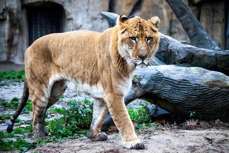 Лигры - гибрид льва и тигра